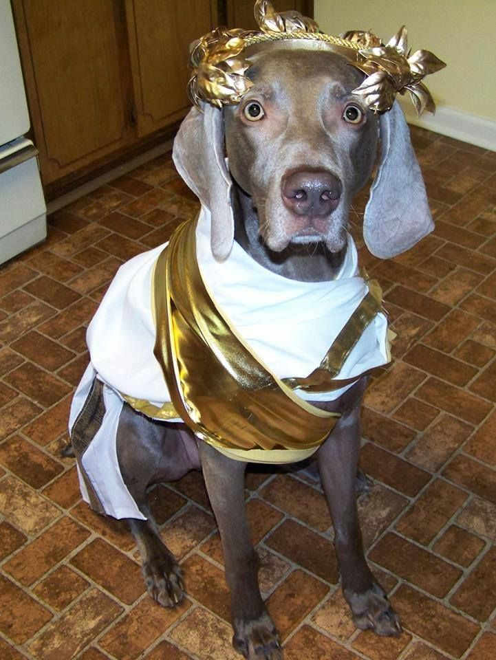 One Of The Best Homemade Costumes Ever Love It Weimaraners