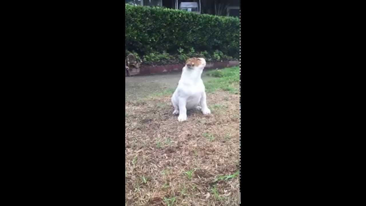 English Bulldog Puppy S Reaction To Seeing Rain For The Very First