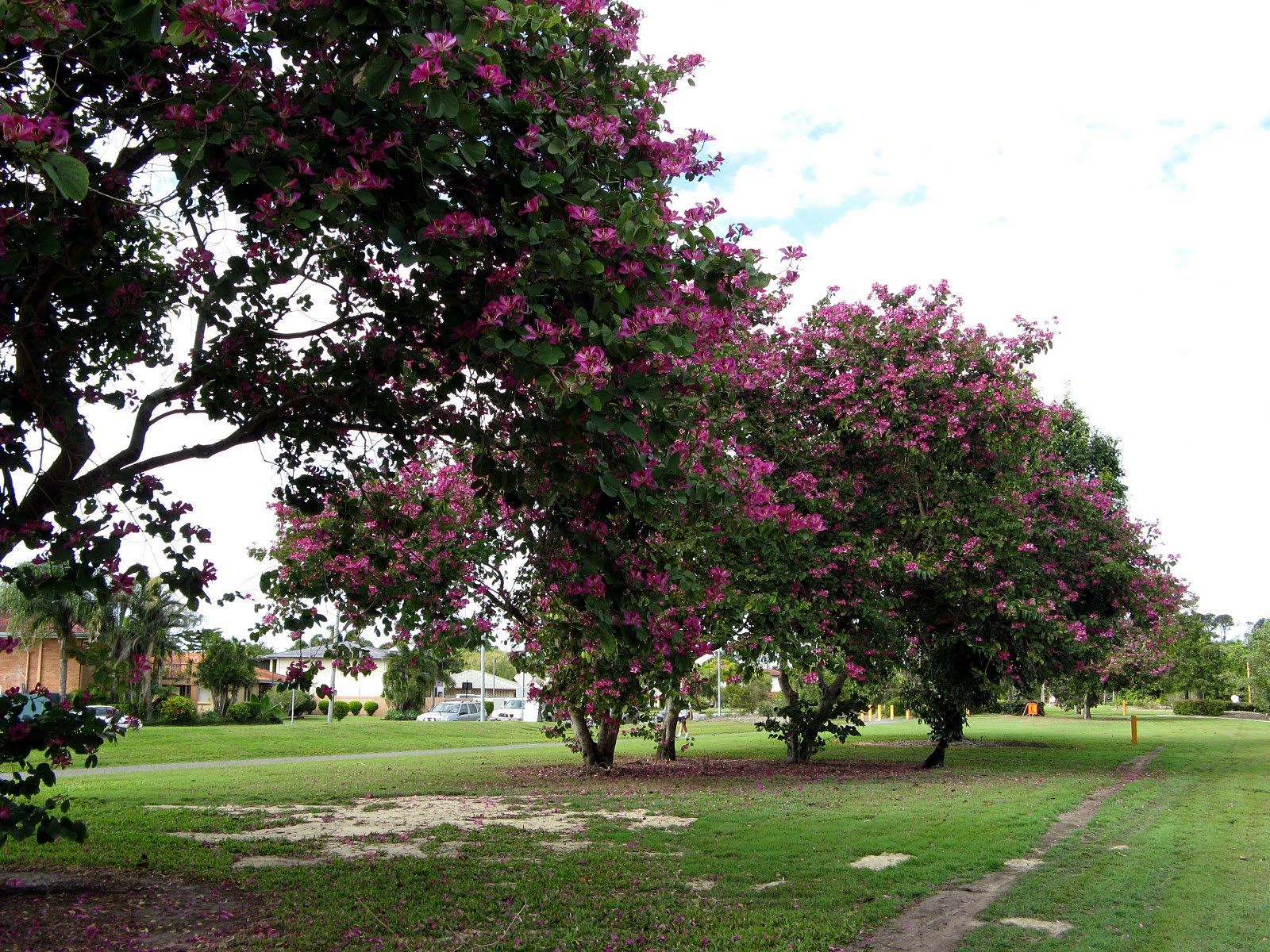 i will be purchasing a bauhinia blakeana tree for the front yard