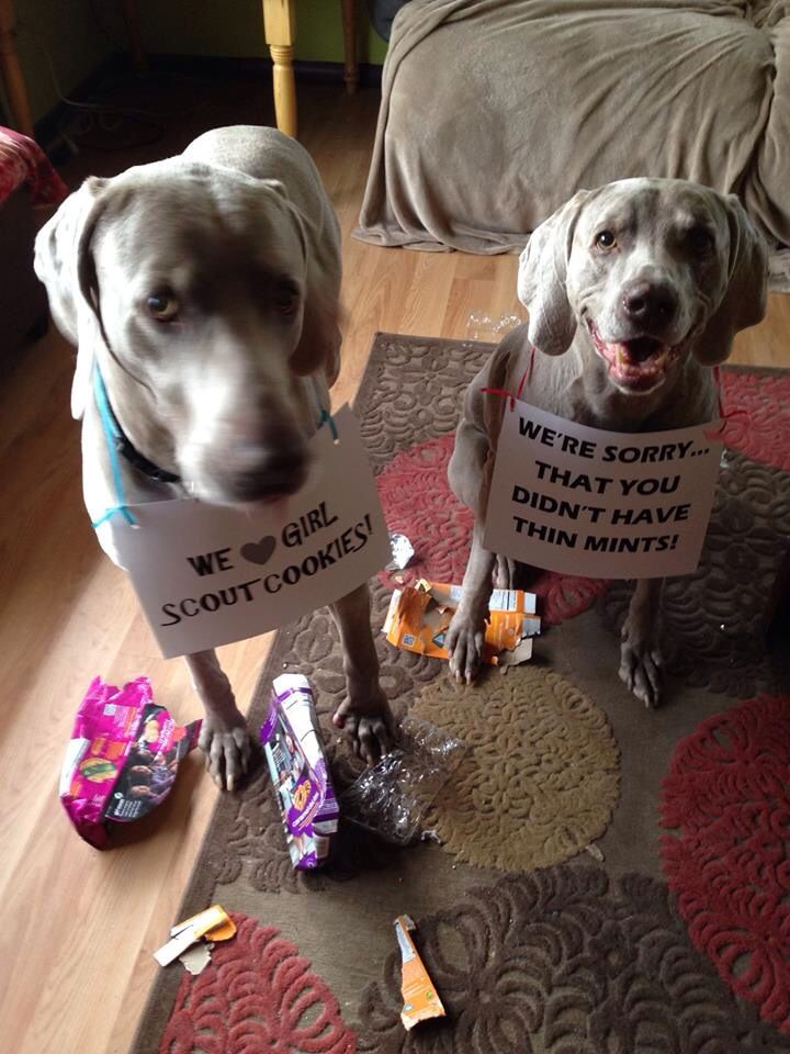 Cookie Monsters Hmmm Looks Familiar Dog Shaming Weimaraner