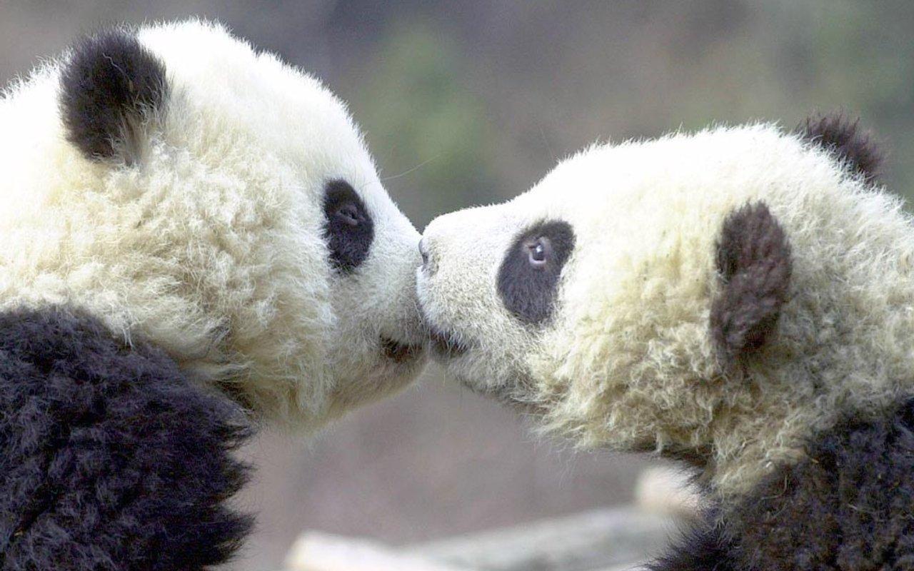 2 pandas kissing   Animals kissing, Cute animals kissing