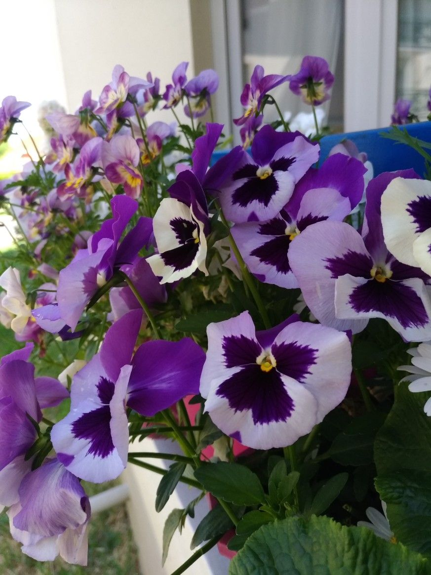Pin by Andrea on pensées Pansies, Flowers, Plants
