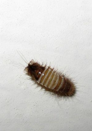 How To Get Rid Of Carpet Beetles Bob Villa Carpet Bugs How To Clean Carpet