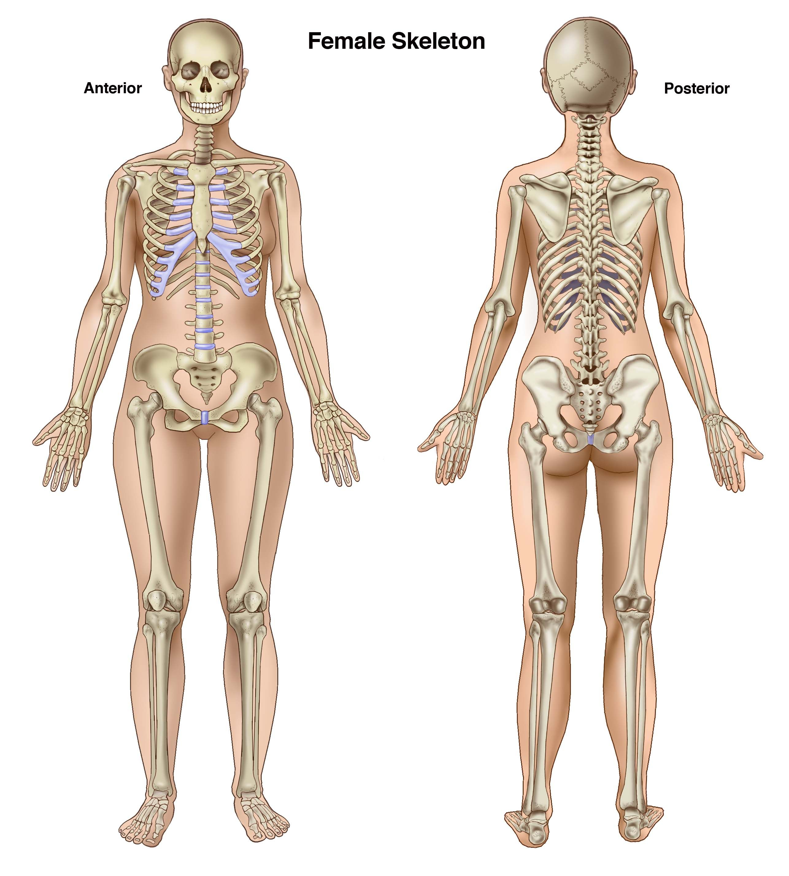 anterior view female skeletal - google search | medical, Skeleton