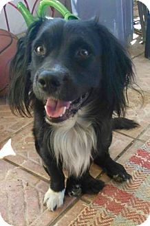 Tampa Fl Border Collie Dachshund Mix Meet Gizmo A Dog For