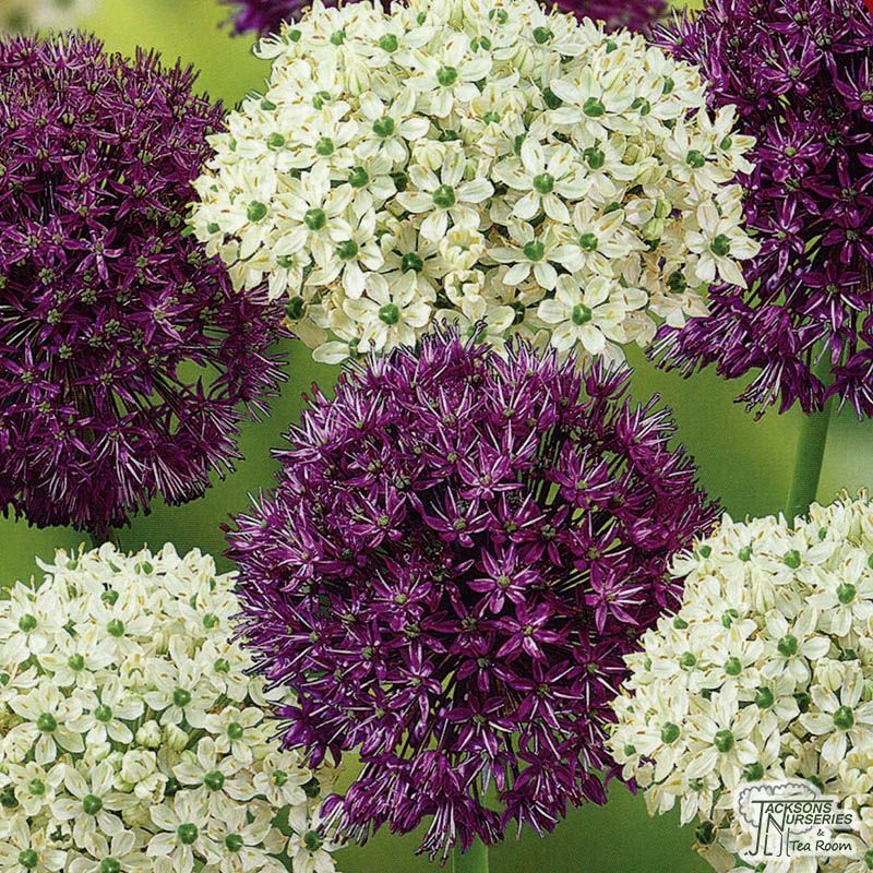Allium Kings And Queens Bulbs Colorful Flowers Bulb All Flowers