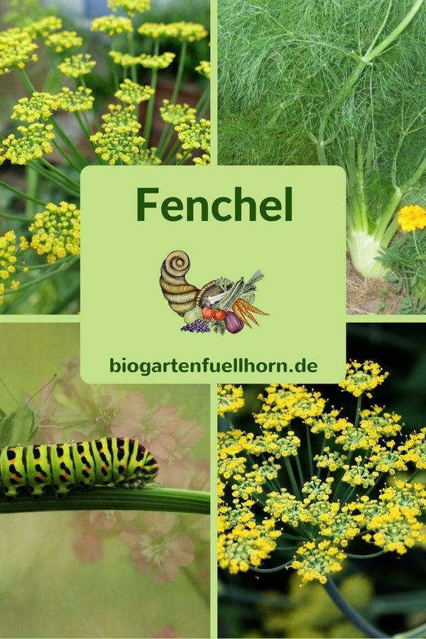 This is how the cultivation of fennel succeeds #anbauvongemüse