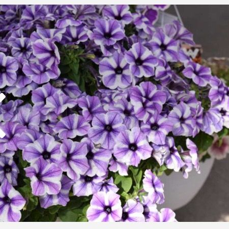 Petunia Surfinia Moonlight Eclipse Petunias Plants Live Plants