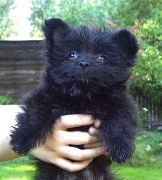 Poodle Shih Tzu Mix Allmutt Com Cute Little Puppies Maltese Poodle Poodle Mix Puppies