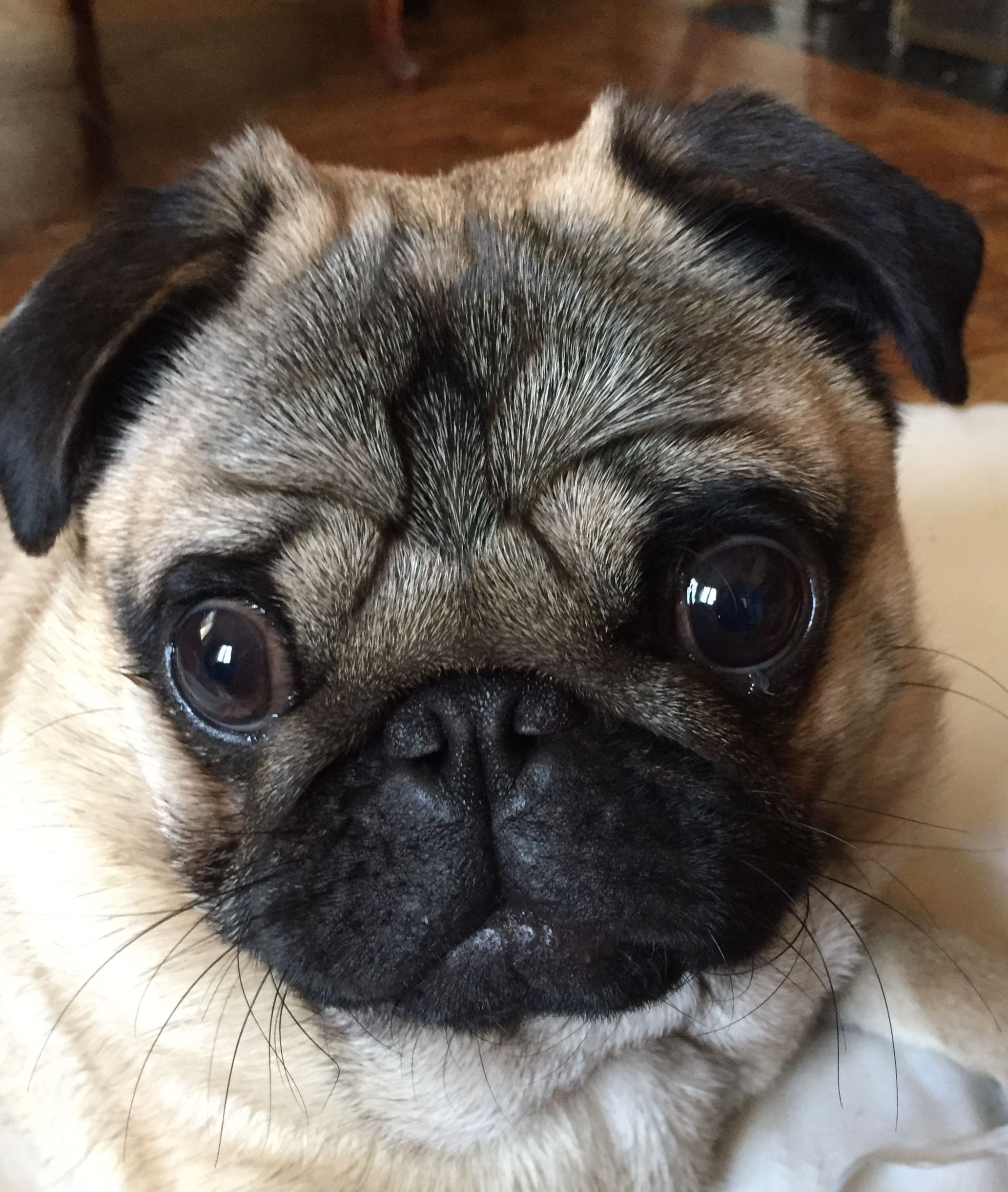 Odilon 10 Mois 8kg With Images Cute Pug Puppies Pugs Pug