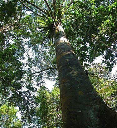 Zebrano baum blatt  Ein Zebrano Baum: | Zebrano | Pinterest