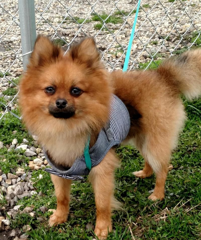 Adopt Gizmo on (With images) Pomeranian dog, Pets, Furry