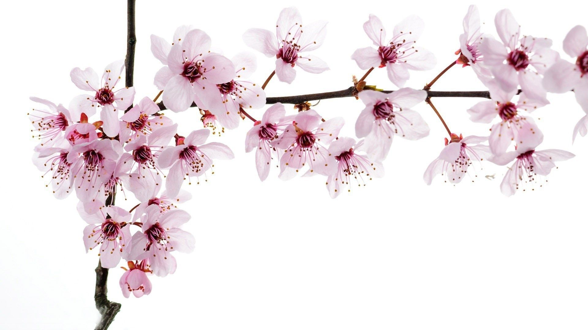 Flowers Cherry Blossoms Wallpapers Full Size Cherry Blossom Wallpaper Cherry Blossom Best Flowers Images