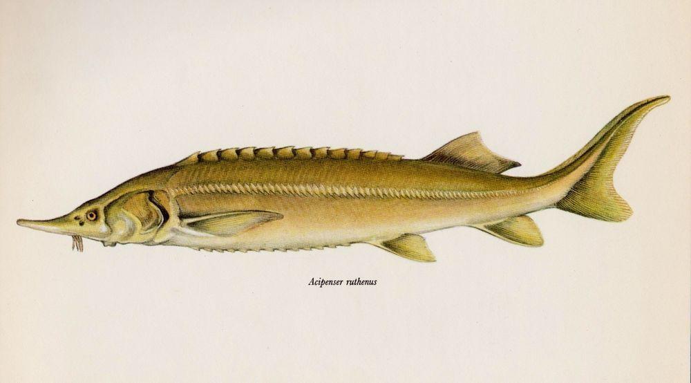 Vintage Fish Print Sturgeon Print Fishing Collectible Beach Decor ...