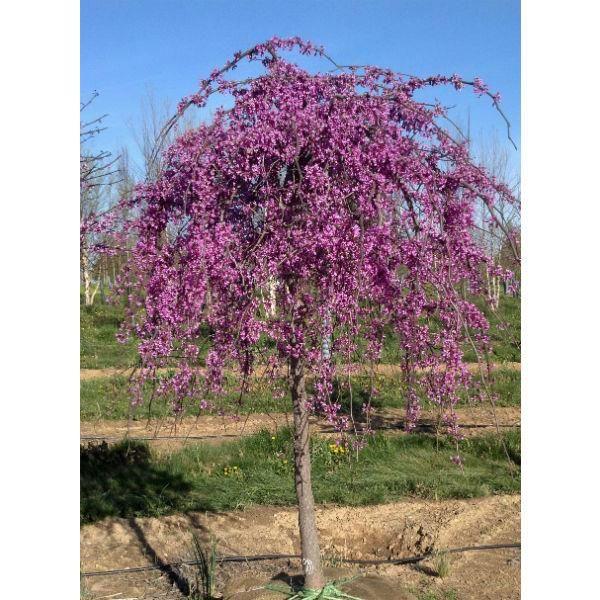 Cercis Lavender Twist American Redbud Tree Johnstown Garden Centre Ireland Redbud Tree Johnstown Garden Centre Flower Pot Garden