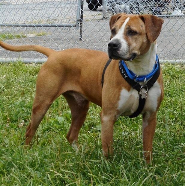 Adopt Harry on Pitbull terrier, Dogs, Boxer terrier mix