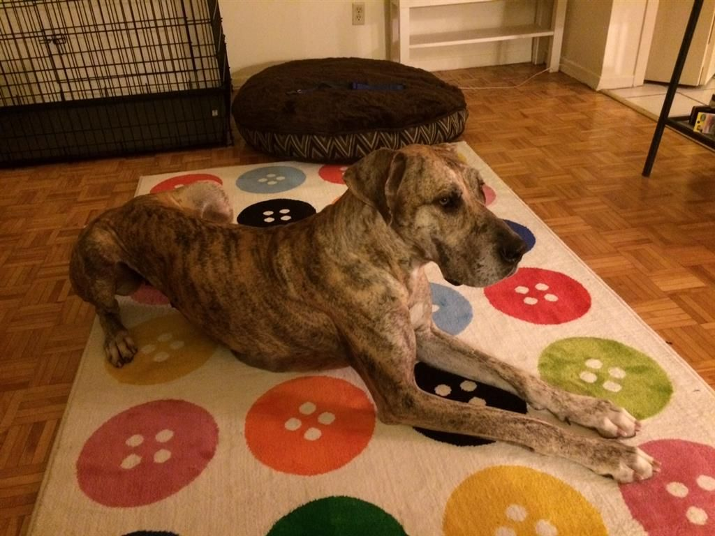 Lost Dog Great Dane Toronto On Canada Lost And Found Pets