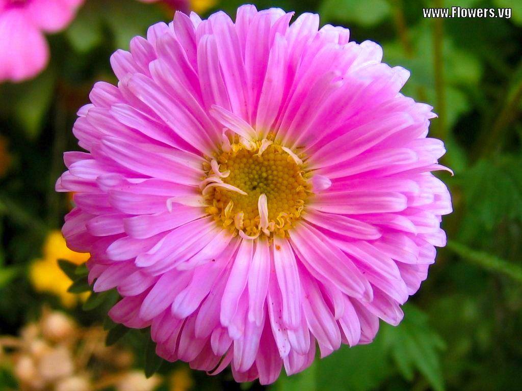Blue Aster Tweet Pink Puffy Purple 4931