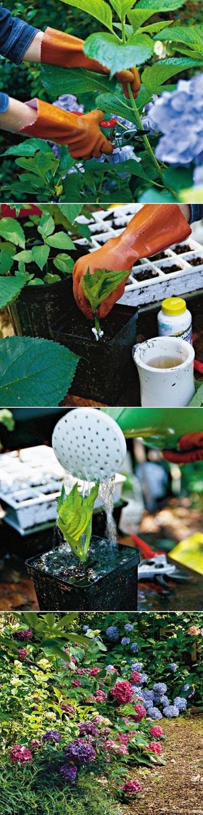 growing hydrangea cuttings hydregnea pinterest garten garten ideen und garten pflanzen. Black Bedroom Furniture Sets. Home Design Ideas