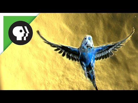 Parakeet Facts from the PBS | I Love Parakeets | See slow motion flying