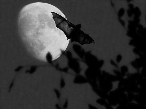 Moon bat