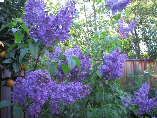 Lilacs In Bloom Late March And Early April Is Lilac Season In Our Area We Have Several Of The Descanso Lilac Hyb Garden Landscape Design Lilac Southern Garden