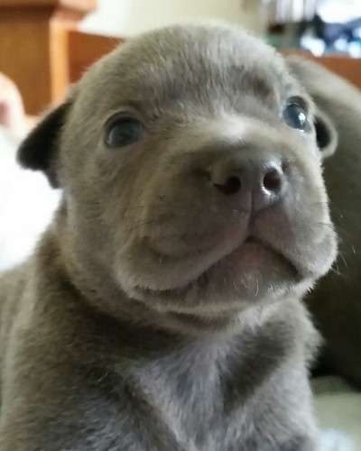 Purebreed Blue English Staffy Puppies For Sale Both Parents Are Pappered Pups English Staffy Puppies Staffordshire Bull Terrier Puppies Staffy Puppies For Sale