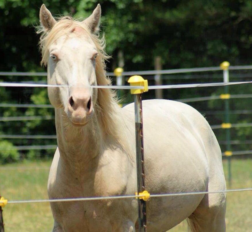 StarNBert, perlino stallion!