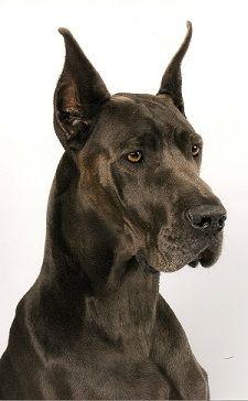 Great Dane Breeder In Mn Great Dane Breeders Great Dane Dogs