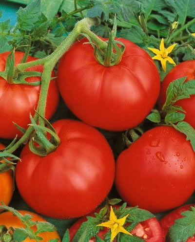 Bonny Best Heirloom Tomato Straight From The Garden We 400 x 300