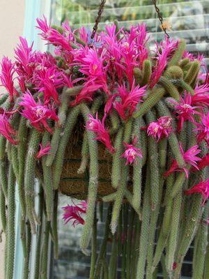 кактусы виды названия и фото
