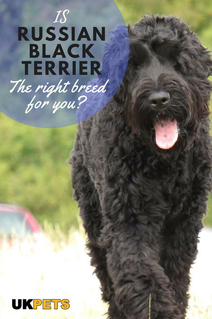 Russian Black Terrier Dog Breed Information Uk Pets Black Russian Terrier Dog Breeds Terrier Dog Breeds