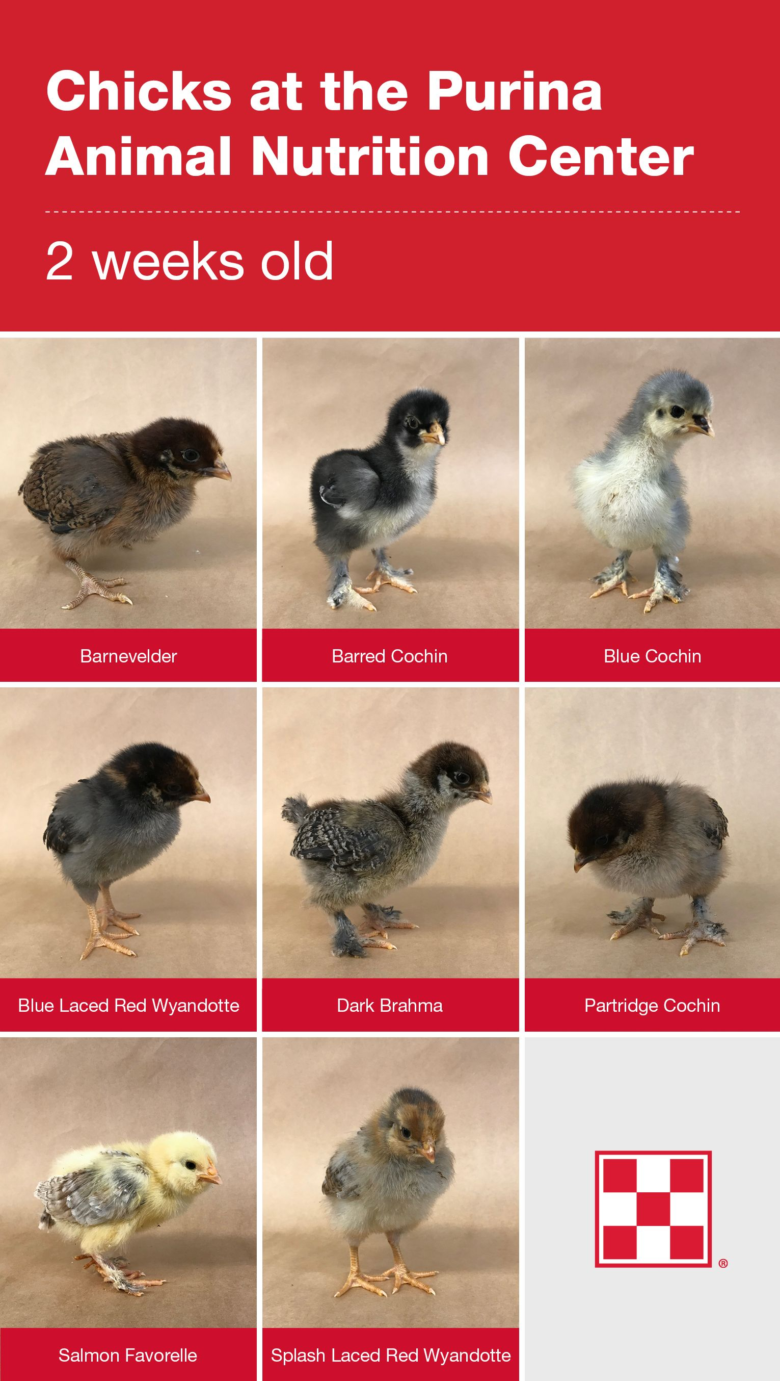 20  to 20 Week Old Baby Chicks   Purina poultry, Baby chicks, Baby ...