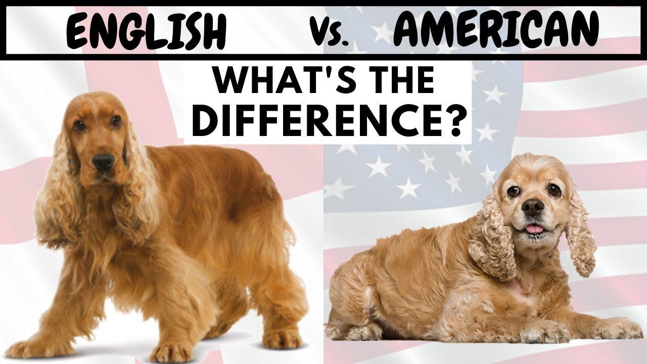English cocker spaniel vs american cocker spaniel whats