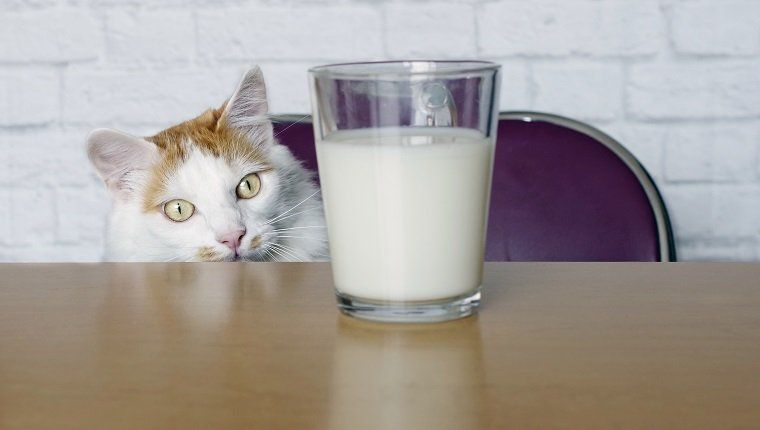 Kitten Is Meeting The Same People Over And Over In 2020 Lactose Free Milk Cat Drinking Kitten Formula