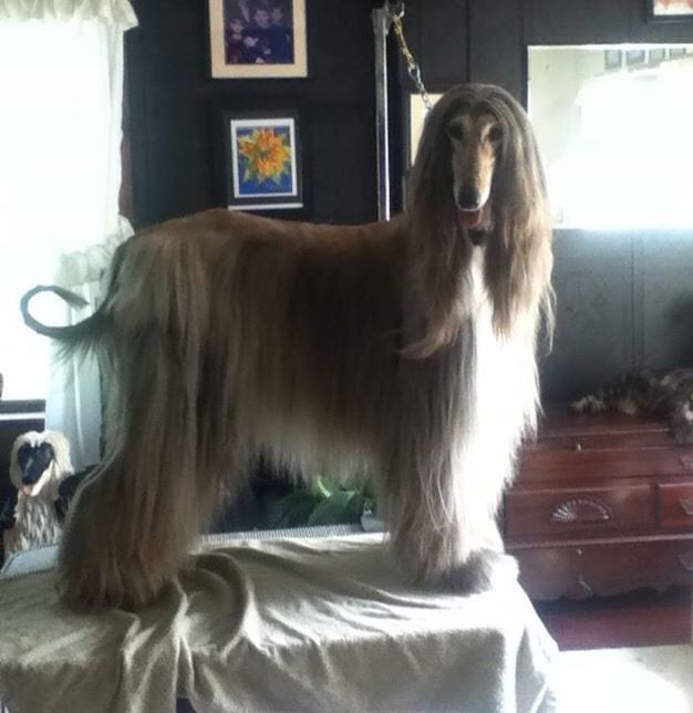 Just Finished Grooming Day Afghan Hound Dogs Of The World