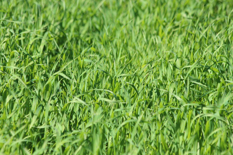Mich Sticht Der Hafer Sie Auch Hafer Als Heilpflanze Heilpflanzen Hafer Mineralstoffe