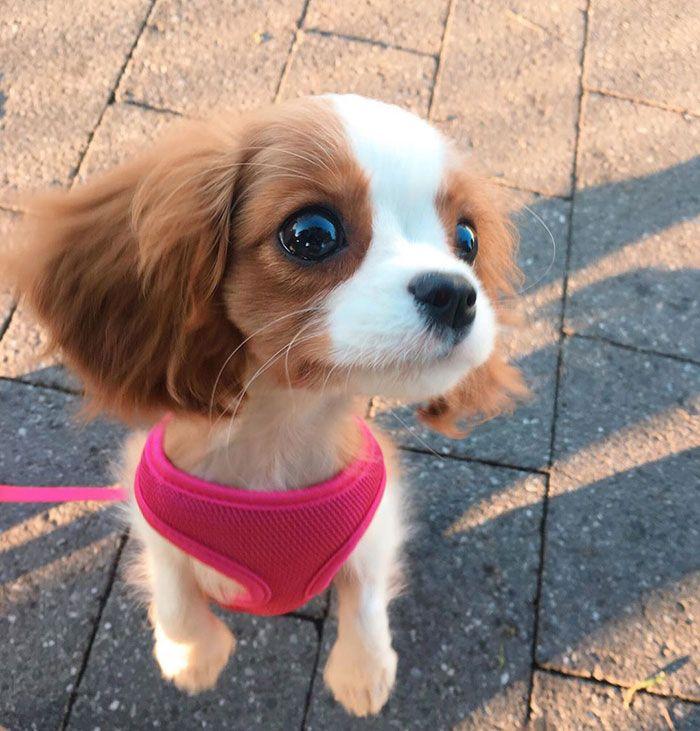 Tiniest Cavalier Puppy Nessa Cavalier Puppy Cute Baby Animals Cute Little Animals