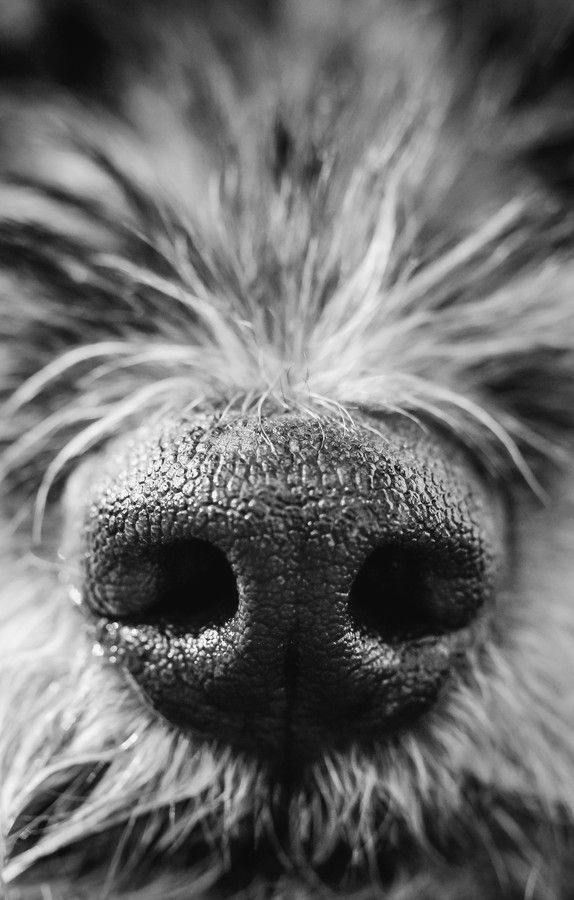 Sniff cute black and white dog nose macro terrier by Sarah Bourque MacroPhotography - #blackandwhitephotography