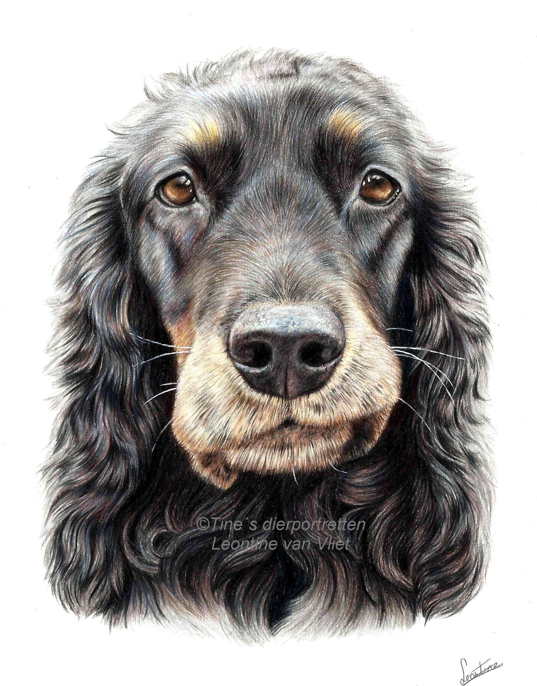 Dana The Cocker Spaniel, Colored Pencil On Canson Paper #dog, #dogs