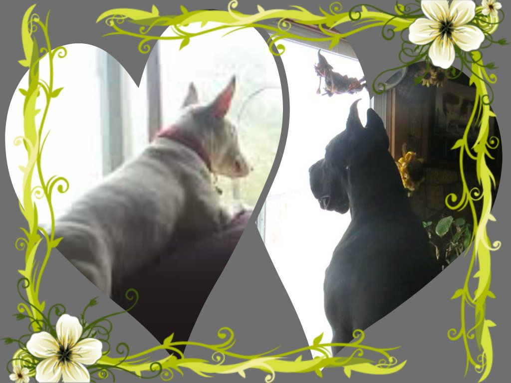Strongbow Great Danes Bull Terriers Puppy Dog Breeder Ckc