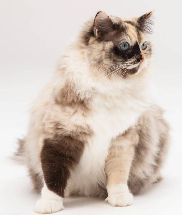 Luna Ragdoll Of The Week Beautiful Cats Gorgeous Cats Cat Breeds
