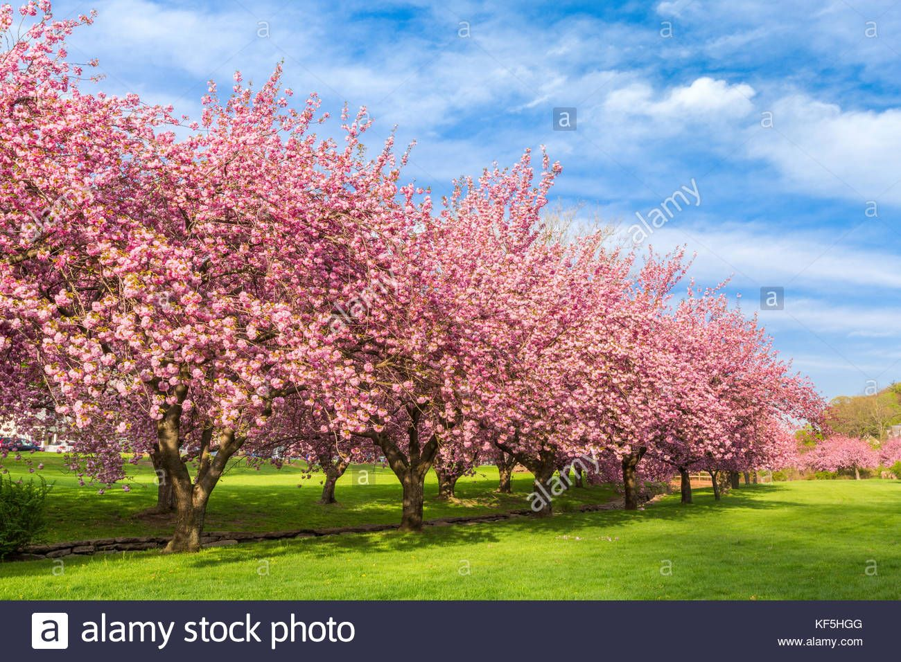 Found On Bing From Www Alamy Com Flowering Cherry Tree Blossom Trees Cherry Blossom Tree