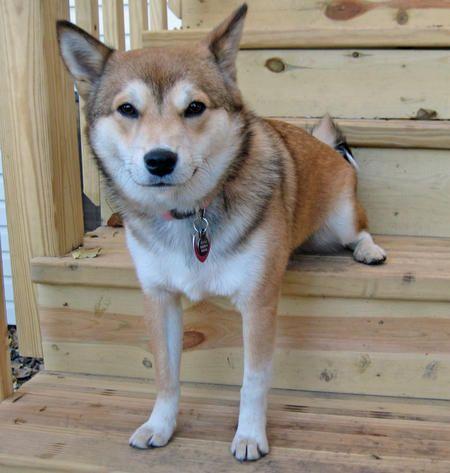 Shiba Inu Husky Mix Shiba Inu Dog Shots Husky Mix