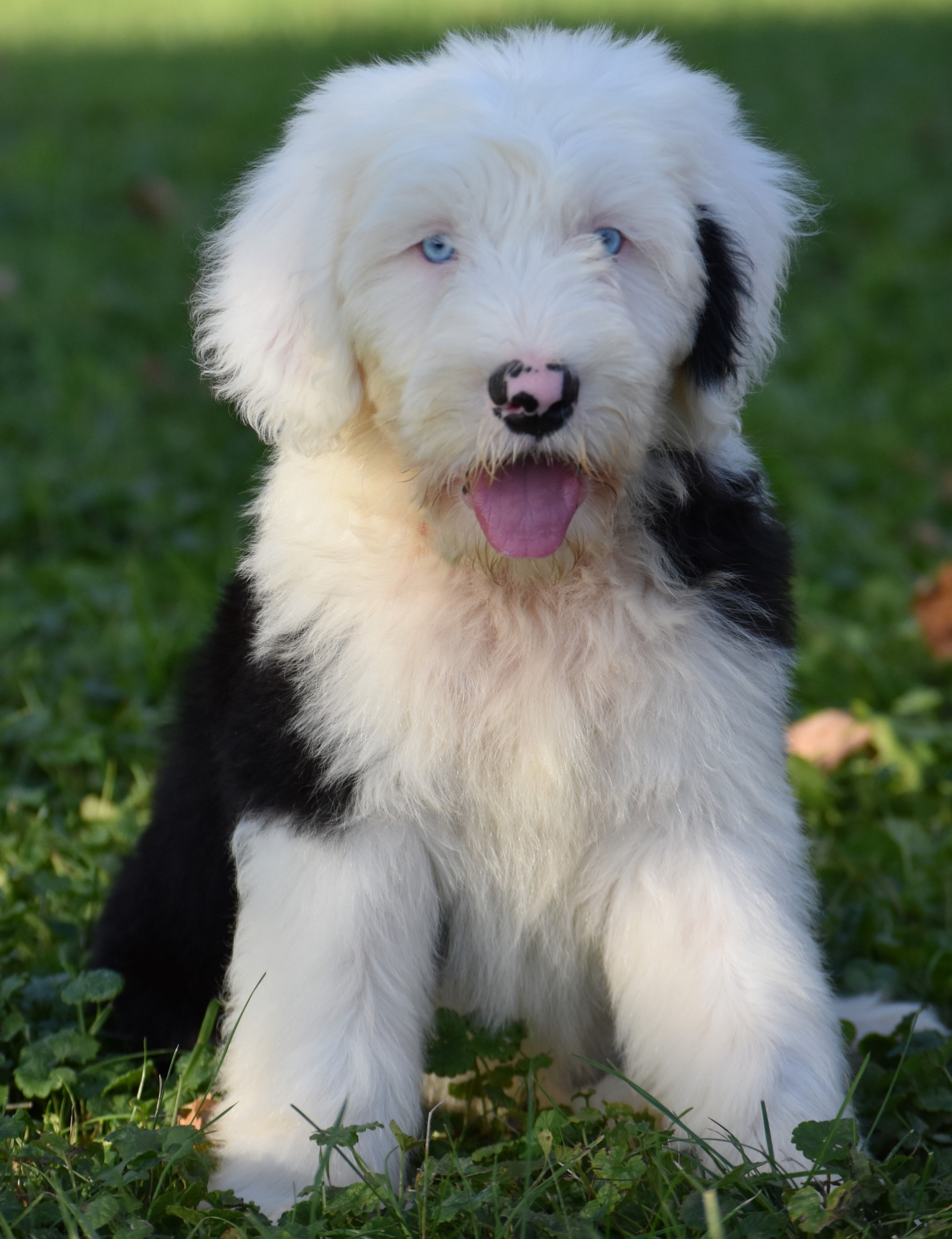 Puppies For Sale Sheepadoodle Puppy Sheepadoodle Puppies