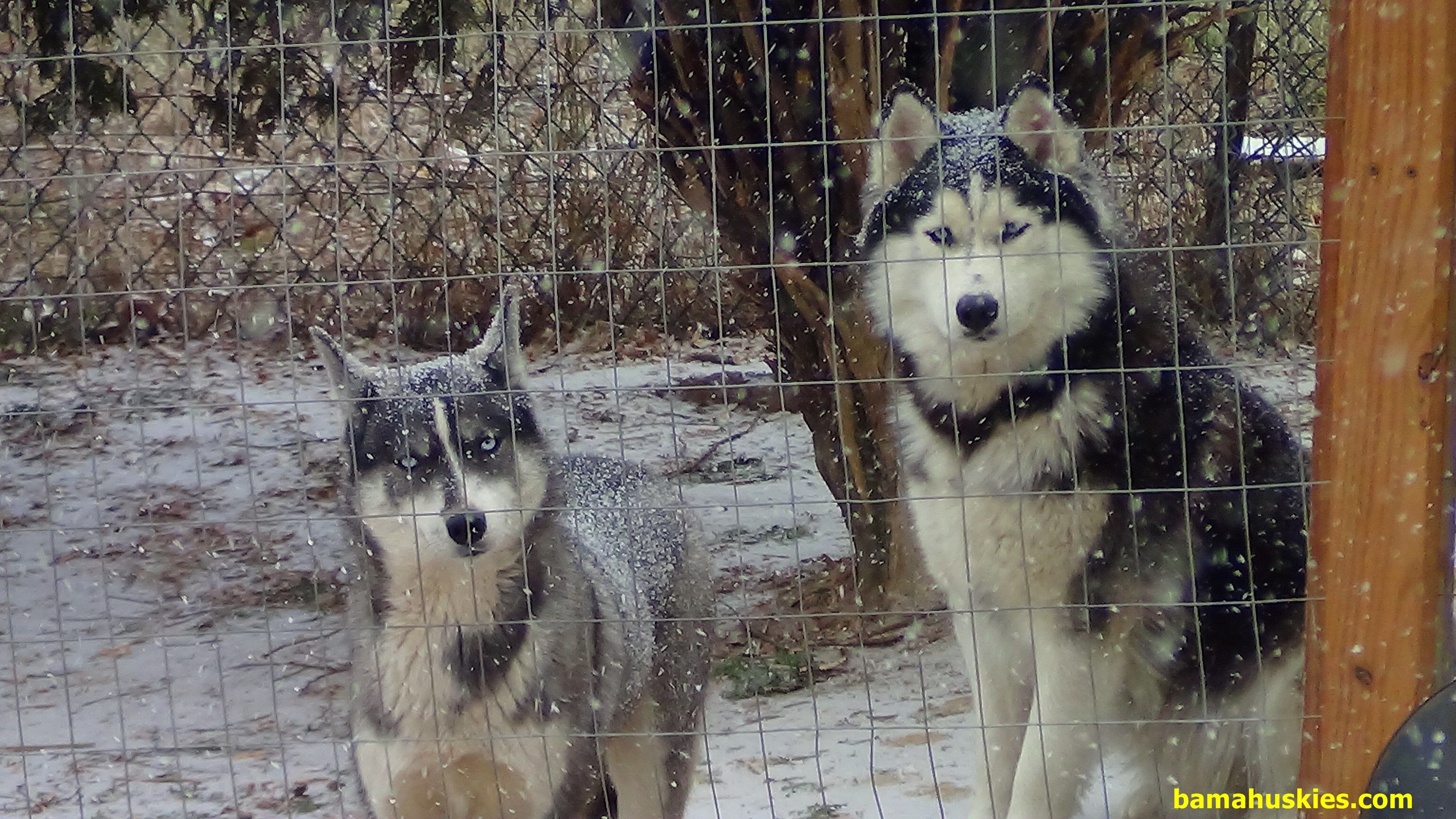 Alabama Huskies Enjoying The Snow Bama Huskies Husky Husky