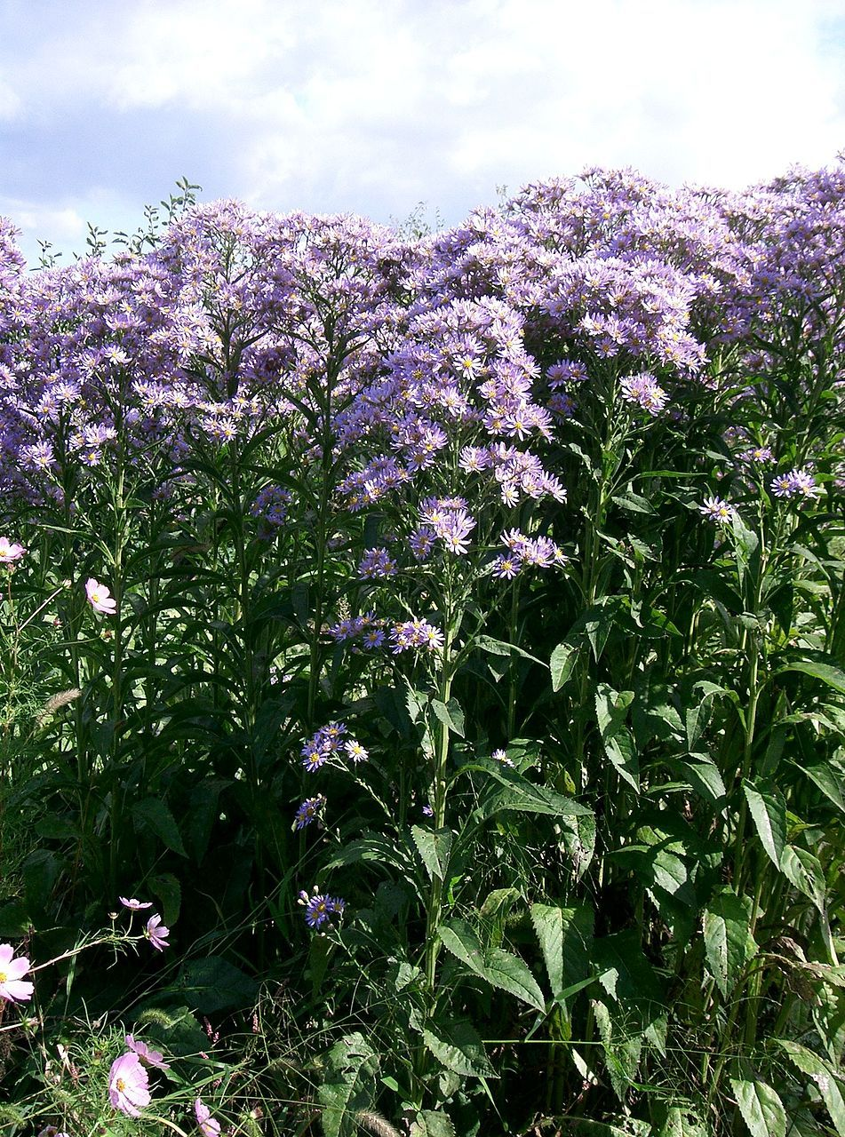Aster Tataricus Plants Plant Database Aster