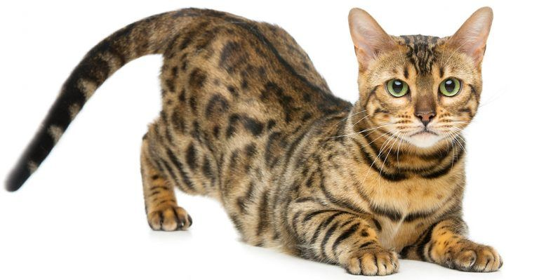 Bengal Cat Names 200 Ideas For Naming Your Male Or Female Bengal Kitten Bengal Cat Bengal Cat Names