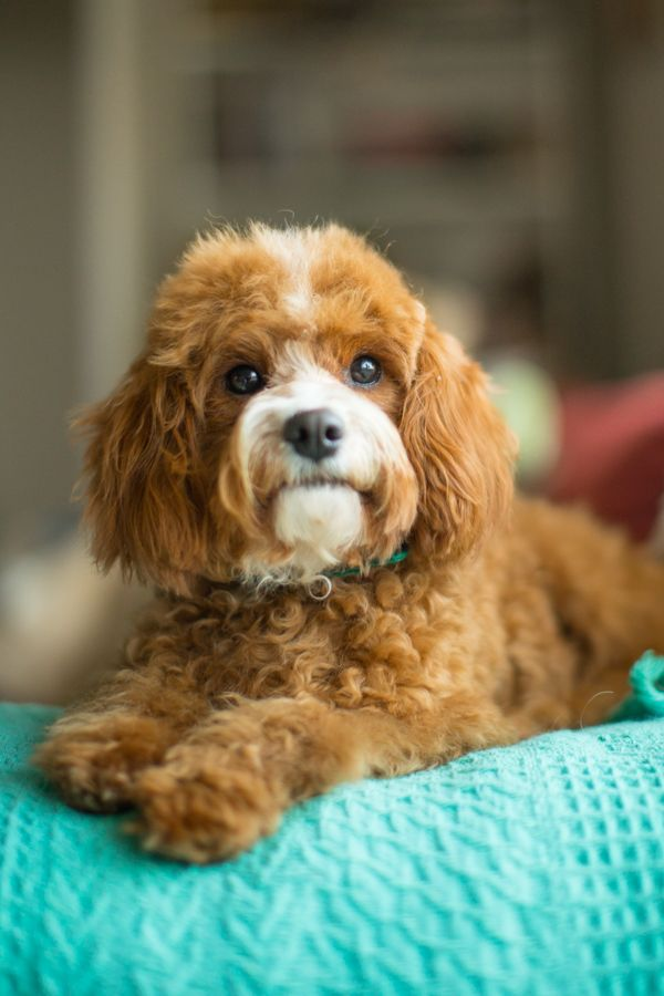 Raggy Dogs are breeders of cavoodles and groodles in