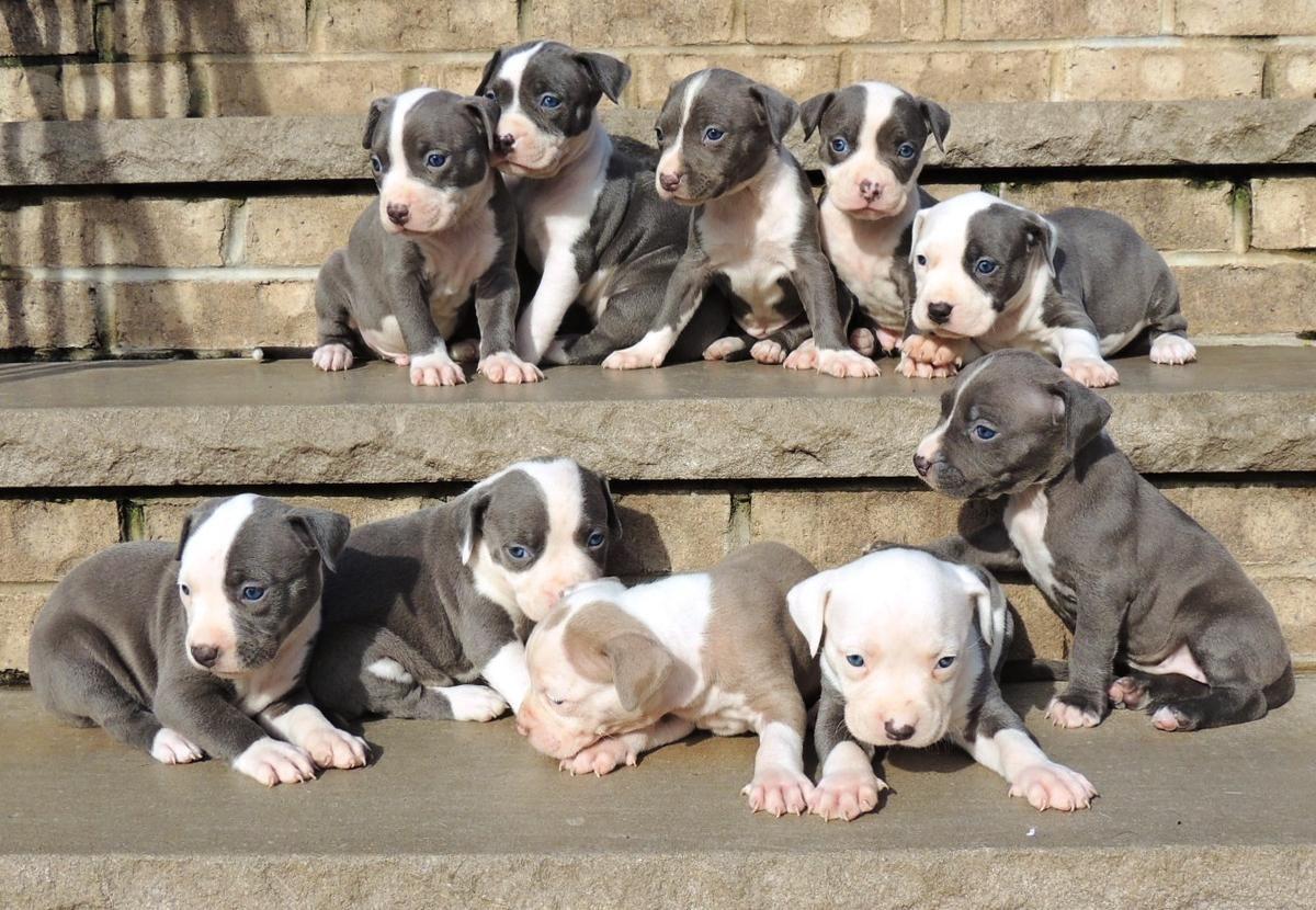 Black Blue Nose Pitbull Puppies Pitbull Puppies Pitbull Terrier Blue Nose Pitbull Puppies